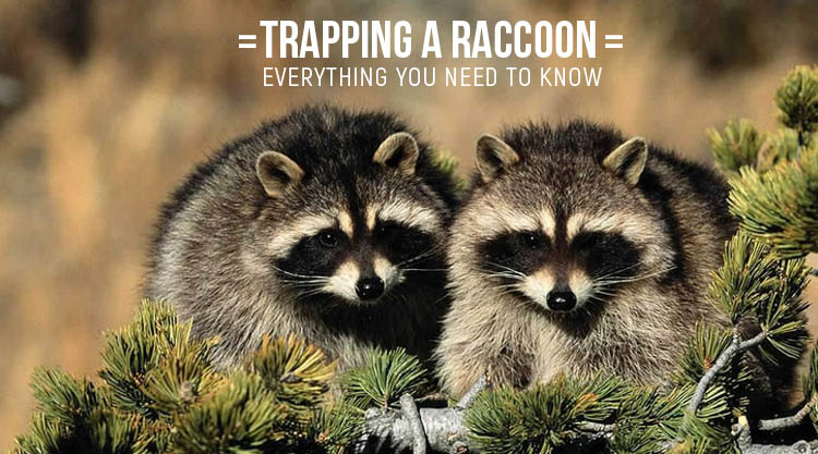 Trapping a Raccoon Everything You Need to Know