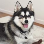 cute pomsky puppy