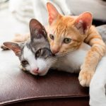 cat breeds for allergic owners