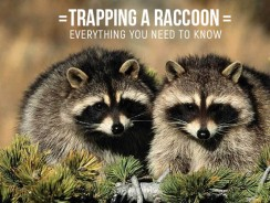 Trapping a Raccoon- Everything You Need to Know and More