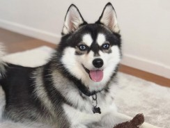 All You Need To Know About the Pomsky Dog Breed