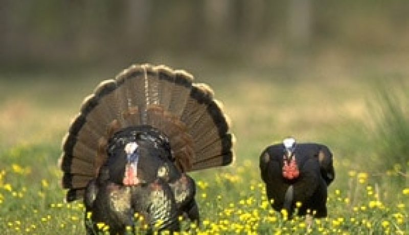 Hunting Wild Turkeys in the Late Spring Season